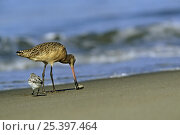 Marbled godwit (Limosa fedoa) feeding in the intertidal zone. Moss Landing, California. Стоковое фото, фотограф Tim Laman / Nature Picture Library / Фотобанк Лори