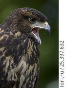 Harris' hawk (Parabuteo unicinctus) juvenile calling, captive, USA. Стоковое фото, фотограф John Cancalosi / Nature Picture Library / Фотобанк Лори