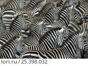 Common zebra {Zebra burchelli} herd massed together on migration, Masai Mara GR, Kenya. Стоковое фото, фотограф Anup Shah / Nature Picture Library / Фотобанк Лори