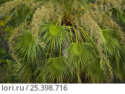 Купить «Palm tree with flowers and fronds, Pantanal NP, Mato Grosso, Brazil», фото № 25398716, снято 19 августа 2018 г. (c) Nature Picture Library / Фотобанк Лори