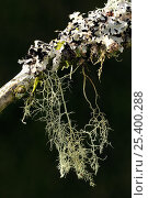 Купить «Lichen {Usnea ceratina} and {Parmelia sulcata}  Devon, UK. October», фото № 25400288, снято 23 мая 2018 г. (c) Nature Picture Library / Фотобанк Лори