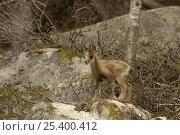 Pyrenean Chamois / Isard {Rupicapra pyrenaica} juvenile, Pyrenees, France. Стоковое фото, фотограф Dave Watts / Nature Picture Library / Фотобанк Лори