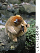 Купить «Sichuan golden snub-nosed monkey {Rhinopithecus roxellana} female scratching ear with foot, Qinling mountains, Shaanxi Province, China. Endangered», фото № 25401604, снято 23 февраля 2019 г. (c) Nature Picture Library / Фотобанк Лори