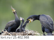 Купить «Common cormorant (Phalacrocorax carbo) pair at nest feeding chicks, France», фото № 25402988, снято 25 мая 2019 г. (c) Nature Picture Library / Фотобанк Лори