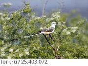 Купить «Scissor-tailed Flycatcher (Tyrannus forficatus) male, Texas, USA», фото № 25403072, снято 17 августа 2018 г. (c) Nature Picture Library / Фотобанк Лори