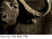 Male African / Cape Buffalo (Syncerus caffer) Okavango Delta, Botswana. Стоковое фото, фотограф Nick Garbutt / Nature Picture Library / Фотобанк Лори