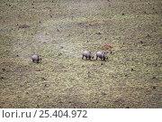 Купить «Aerial view of Northern white rhinoceros {Ceratotherium simum cottoni} taken from anti-poaching aircraft in 1989, Garamba NP, Dem Rep Congo.», фото № 25404972, снято 26 февраля 2020 г. (c) Nature Picture Library / Фотобанк Лори