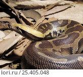 Купить «Blood Python (Python curtus) sensing air with tongue, Captive, native to South East Asia.», фото № 25405048, снято 21 сентября 2019 г. (c) Nature Picture Library / Фотобанк Лори