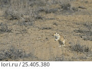Купить «Giant / Mongolian gerbil (Meriones unguiculatus), alert and looking out for danger in the Chinese desert. September 2006», фото № 25405380, снято 20 апреля 2018 г. (c) Nature Picture Library / Фотобанк Лори