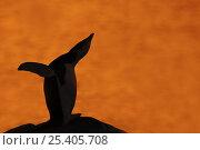Купить «Silhouette of Chinstrap Penguin {Pygoscelis antarctica} calling at sunset, Antarctica», фото № 25405708, снято 20 мая 2019 г. (c) Nature Picture Library / Фотобанк Лори