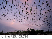 Mexican Free-tailed Bat (Tadarida brasiliensis mexicana) emerging at dusk from Frio Cave, near Concan in the Texas Hill Country, Texas, USA. Стоковое фото, фотограф David Kjaer / Nature Picture Library / Фотобанк Лори