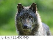 Купить «Portrait of European grey wolf (Canis lupus) Captive, France», фото № 25406040, снято 20 февраля 2020 г. (c) Nature Picture Library / Фотобанк Лори
