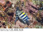 Купить «Scissor-tail sergeant (Abudefduf sexfasciatus) pair spawning on coral rocks. Lembeh Strait, North Sulawesi, Indonesia.», фото № 25406924, снято 17 августа 2018 г. (c) Nature Picture Library / Фотобанк Лори