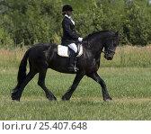 Купить «Woman riding black Friesian gelding at trot, Longmont, Colorado, USA, model released», фото № 25407648, снято 19 августа 2018 г. (c) Nature Picture Library / Фотобанк Лори