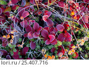 Купить «Cowberry leaves {Vaccinium vitis idaea} covered in frost in autumn on tundra, Kronotsky Zapovednik, Kamchatka, Far East Russia», фото № 25407716, снято 23 мая 2018 г. (c) Nature Picture Library / Фотобанк Лори