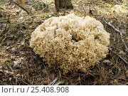 Купить «Cauliflower fungus {Sparassis crispa} Close up showing the intricate details of the wavy spore producing organs, UK», фото № 25408908, снято 16 августа 2018 г. (c) Nature Picture Library / Фотобанк Лори
