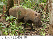 Bearded pig {Sus barbatus} in forest, Kalimantan, Borneo, Indonesia. Стоковое фото, фотограф Hanne & Jens Eriksen / Nature Picture Library / Фотобанк Лори