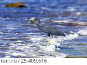 Купить «Little blue heron (Egretta caerulea) wading in coastal shallows, Puerto Rico, Caribbean», фото № 25409616, снято 17 июля 2018 г. (c) Nature Picture Library / Фотобанк Лори