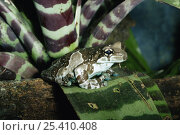 Купить «Mission golden-eyed tree frog {Trachycephalus resinifictrix} captive, from South America», фото № 25410408, снято 29 марта 2020 г. (c) Nature Picture Library / Фотобанк Лори