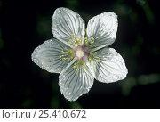 Купить «Grass of Parnassus {Parnassia palustris} flower, Switzerland, September», фото № 25410672, снято 16 декабря 2017 г. (c) Nature Picture Library / Фотобанк Лори