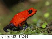 Купить «Strawberry poison arrow / dart frog (Dendrobates pumilio), Costa Rica», фото № 25411024, снято 19 мая 2019 г. (c) Nature Picture Library / Фотобанк Лори