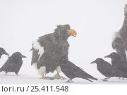Купить «Steller's sea eagle {Haliaeetus pelagicus} feeding on Sockeye salmon prey in snow with crows waiting to scavenge scraps, Kuril Lake, Kamchatka, Far East Russia», фото № 25411548, снято 19 марта 2019 г. (c) Nature Picture Library / Фотобанк Лори
