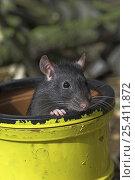 Купить «Black fancy rat {Rattus sp.} in pipe, captive, UK», фото № 25411872, снято 18 августа 2018 г. (c) Nature Picture Library / Фотобанк Лори
