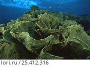 Купить «Lettuce Corals on a reef in Fiji. Breaking surf visible above.», фото № 25412316, снято 16 августа 2018 г. (c) Nature Picture Library / Фотобанк Лори