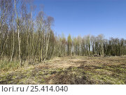 Купить «Birch clearance in wet woodland to improve wetland habitat, Norfolk, UK, April», фото № 25414040, снято 24 сентября 2018 г. (c) Nature Picture Library / Фотобанк Лори