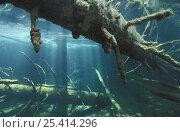 Купить «Fallen tree trunks and shafts of light in spring creek, Croatia, May», фото № 25414296, снято 28 мая 2018 г. (c) Nature Picture Library / Фотобанк Лори