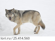 Купить «Grey wolf {Canis lupus} in winter, snow, Finland, captive», фото № 25414560, снято 15 июля 2018 г. (c) Nature Picture Library / Фотобанк Лори