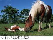Domestic horse, skewbald mare and foal (Equus caballus). UK. Стоковое фото, фотограф Georgette Douwma / Nature Picture Library / Фотобанк Лори