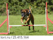 Купить «German Boxer wearing a harness, jumping over a hurdle / jump», фото № 25415164, снято 20 июля 2018 г. (c) Nature Picture Library / Фотобанк Лори