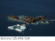 Купить «Walrus (Odobenus rosmarus) herd resting on and swimming around a chunk of pack ice during the spring breakup. Chukchi Sea, off the National Petroleum Reserves, Alaska», фото № 25416124, снято 16 июля 2018 г. (c) Nature Picture Library / Фотобанк Лори