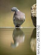 Купить «Wood pigeon {Columba palumbus} perching on edge of bird bath, Moralet, Alicante, Spain», фото № 25416152, снято 22 февраля 2019 г. (c) Nature Picture Library / Фотобанк Лори