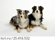 Two Australian Shepherds, tricolour and blue-merle. Стоковое фото, фотограф Petra Wegner / Nature Picture Library / Фотобанк Лори