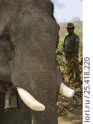 Купить «Indian elephant (Elephas maximus) captive used by anti-poaching patrol wih ranger, Alaungdaw Kathapa National Park, Burma (Myanmar)», фото № 25418220, снято 26 февраля 2020 г. (c) Nature Picture Library / Фотобанк Лори