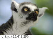 Купить «Ring-tailed Lemur (Lemurs catta), dry forest of Berenty reserve, South Madagascar», фото № 25418296, снято 22 апреля 2019 г. (c) Nature Picture Library / Фотобанк Лори