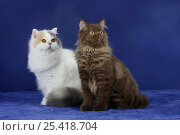 Купить «Two British Longhair Cats sitting together», фото № 25418704, снято 17 августа 2018 г. (c) Nature Picture Library / Фотобанк Лори