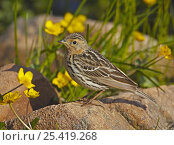 Red-throated Pipit (Anthus cervinus) amongst wildflowers, Norway, July. Стоковое фото, фотограф Markus Varesvuo / Nature Picture Library / Фотобанк Лори