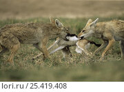 Pair of Golden jackal {Canis aureus} fight over Gazelle kill, Ngorongoro conservation area, Tanzania. Стоковое фото, фотограф Anup Shah / Nature Picture Library / Фотобанк Лори