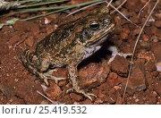 Купить «Giant cane toad {Bufo marinus} with abnormal bifurcated toe, Mt Isa, Queensland, Australia, introduced species has become a major pest.», фото № 25419532, снято 1 апреля 2020 г. (c) Nature Picture Library / Фотобанк Лори