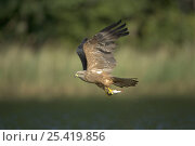 Купить «Black Kite (Milvus migrans) adult in flight with fish in claws, Germany», фото № 25419856, снято 21 сентября 2018 г. (c) Nature Picture Library / Фотобанк Лори