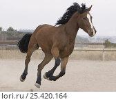 Купить «Bay Morgan gelding running in paddock, Falcon, Colorado, USA», фото № 25420164, снято 19 августа 2018 г. (c) Nature Picture Library / Фотобанк Лори