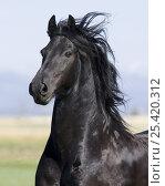 Купить «Black Friesian gelding, Longmont, Colorado, USA», фото № 25420312, снято 19 августа 2018 г. (c) Nature Picture Library / Фотобанк Лори