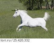 Купить «Grey Arabian gelding running in field, Boulder, Colorado, USA», фото № 25420332, снято 19 августа 2018 г. (c) Nature Picture Library / Фотобанк Лори