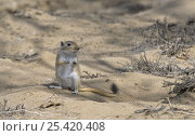 Купить «Giant / Mongolian gerbil (Meriones unguiculatus), alert and looking out for danger in the Chinese desert. September 2006», фото № 25420408, снято 20 апреля 2018 г. (c) Nature Picture Library / Фотобанк Лори
