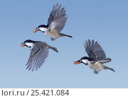 Купить «Coal Tits (Periparus ater) flying with peanuts in their beaks, digital composite, Surrey, UK», фото № 25421084, снято 31 мая 2020 г. (c) Nature Picture Library / Фотобанк Лори