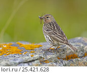 Red-throated Pipit (Anthus cervinus) carrying insect prey in beak, Norway, June. Стоковое фото, фотограф Markus Varesvuo / Nature Picture Library / Фотобанк Лори