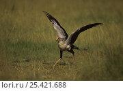 Secretary bird {Sagittarius serpentarius} running with nest material in beak, East Africa. Стоковое фото, фотограф Anup Shah / Nature Picture Library / Фотобанк Лори